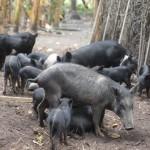 Bénin ADeD cochons