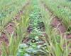 Le Bénin face à la menace des OGM: le résultat d'une impasse juridique et politique