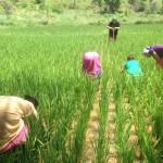 Desherbage rizieres