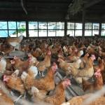 19-poules