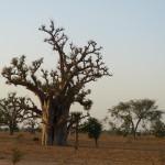 arbre sénégal